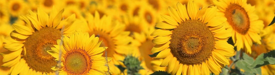Bio Sonnenblumenfeld